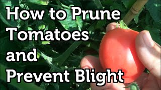 How to Prune Tomatoes to Increase Yields , Prevent Disease and Ripen Fruit Faster