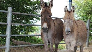 Training the nervous or unhandled donkey