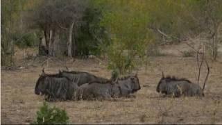 safariLIVE - Sunset Safari - June. 10, 2017