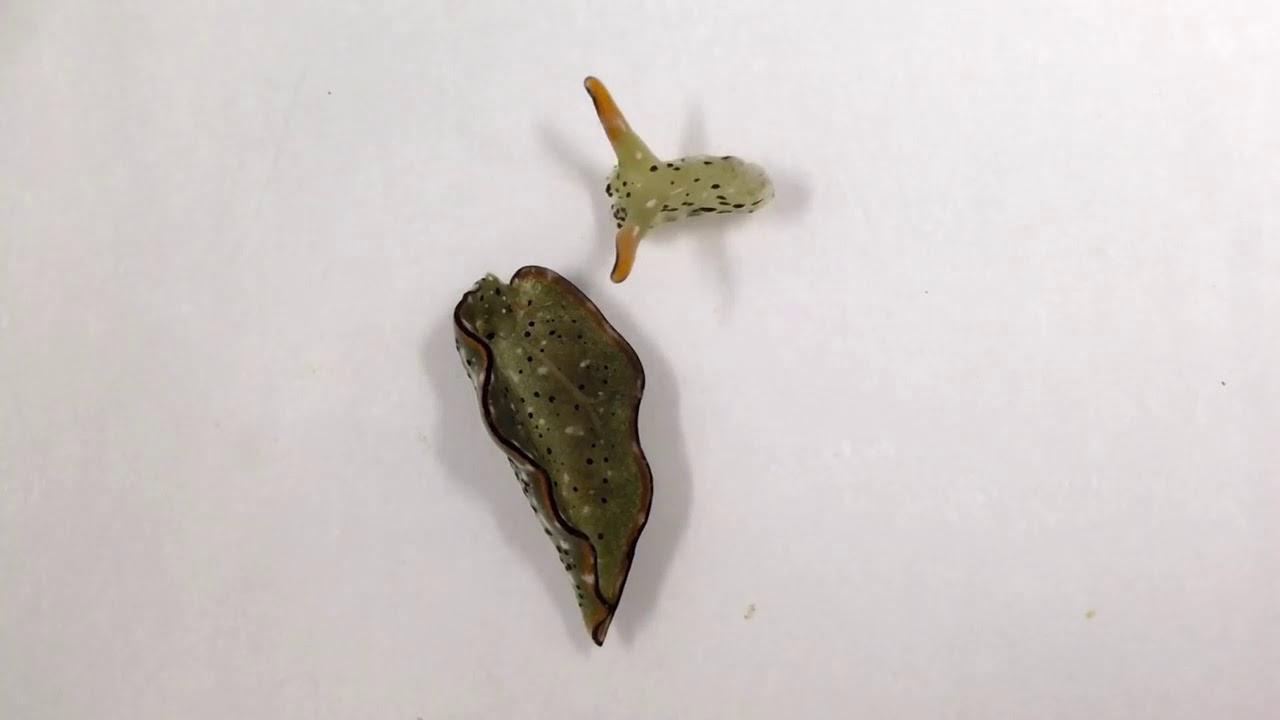 Babosa de mar puede cortarse la cabeza y tener un cuerpo nuevo.