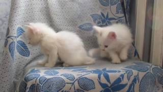 Белые котята 2016 - Small white kittens part two