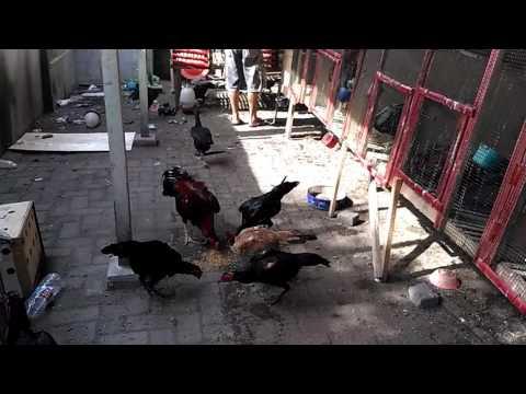 Ternak Ayam Laga Di Medana