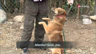 100 Icons Of Korean Culture Ep30c01 Jindo Dog