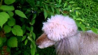 Wild Poodles: Blueberry Foraging Behavior