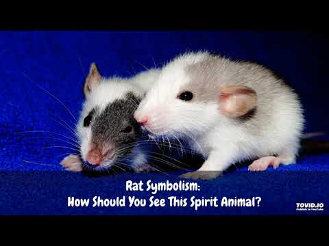 Rat Symbolism: How Should You See This Spirit Animal?