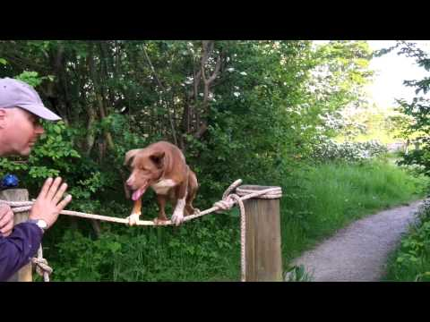 Amazing Dog-Tight Rope Walk Training