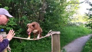 Amazing Dog-Tight Rope Walk Training