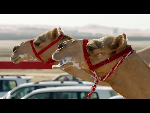 One Million Dollar Camel Race - Wild Arabia - BBC