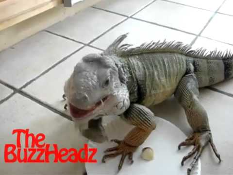 FARTING IGUANA SONG ( The Buzz Headz Original Song )