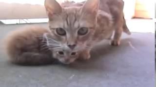 мама  кошка пришла на помощь к своему котенку)