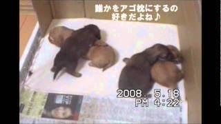 生後20日目。ミニチュアダックスフンドの仔犬達です。 お腹がいっぱいに...