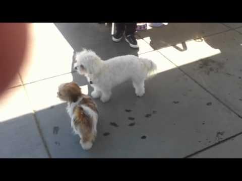 Hopping Shih Tzu Puppy