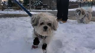 Lhasa Apso Dog Roxie With Friends At Sugar Maple Woods For Winter Fun