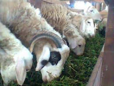 Hasil gambar untuk kambing gembel