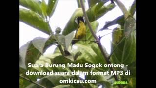 Suara burung sogok ontong atau madu sriganti - Nectarinia jugularis Nectariniidae