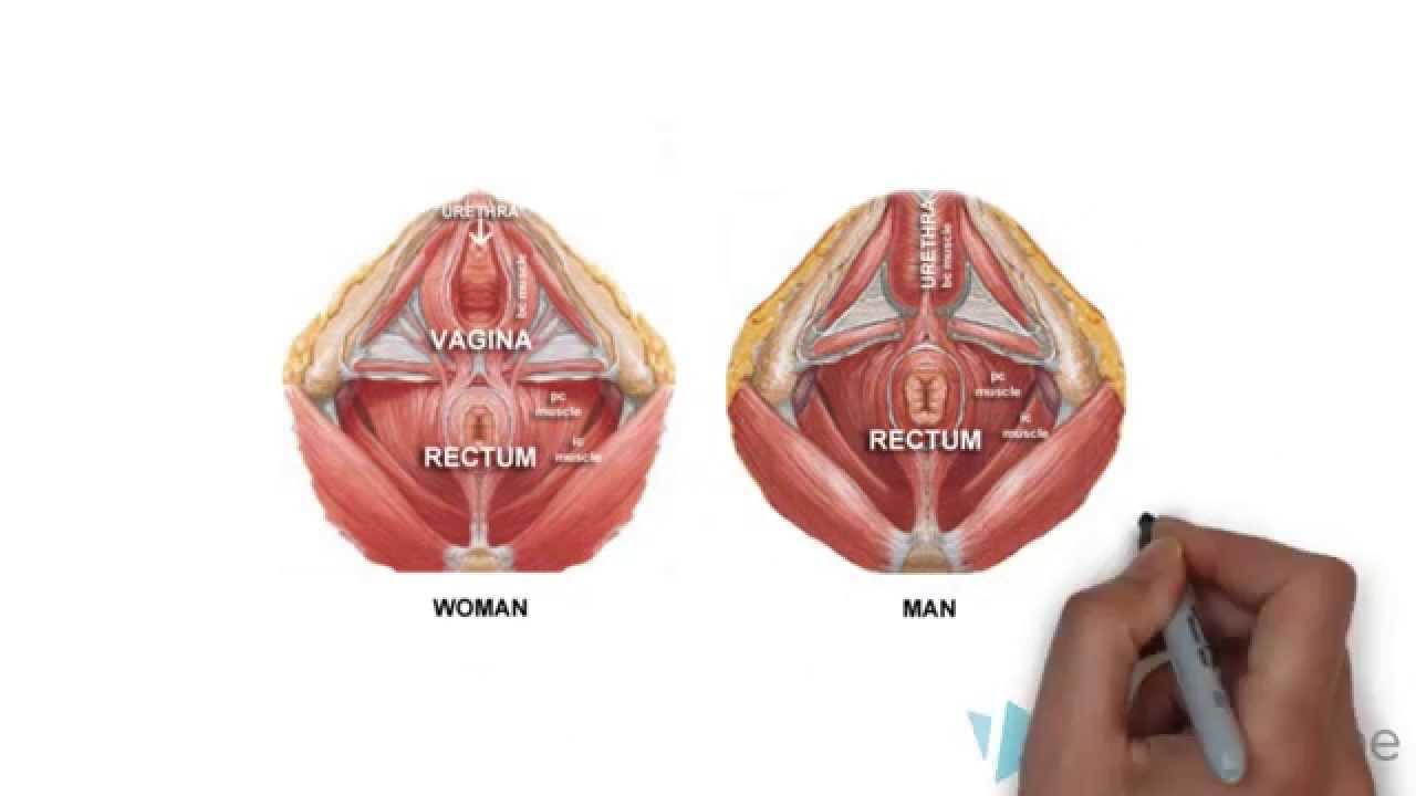Pubococcygeus Muscle