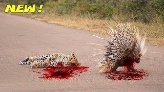 Most Amazing Wild Animals Attacks #39  Porcupine Kills Python and Leopard - Animal World