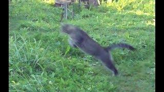 Невероятный прыжок кота с исчезновением )))