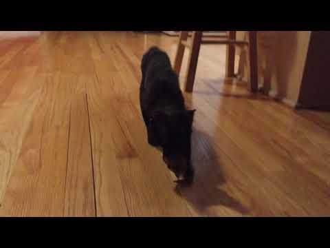 Devon Rex cat plays fetch
