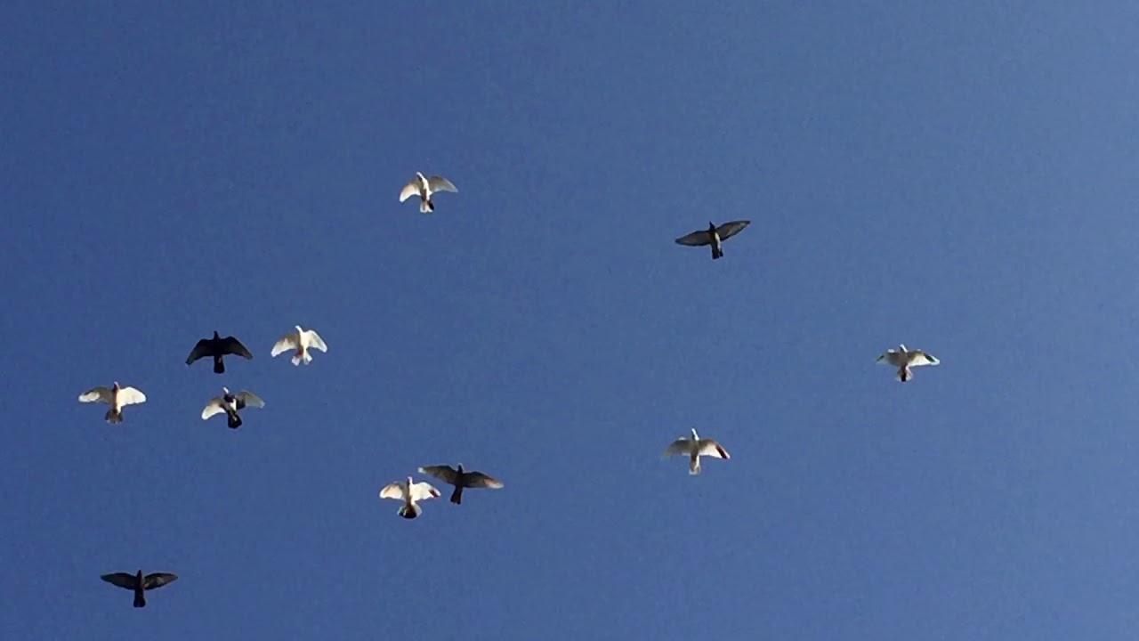 #Pigeon.Марш бросок для голубей.