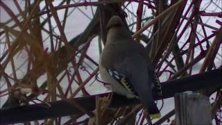крутые птицы, попугаи прилетели, а если серьезно, свиристели=)