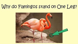 Why do Flamingos stand on One leg? || Why Google logo has four colours?