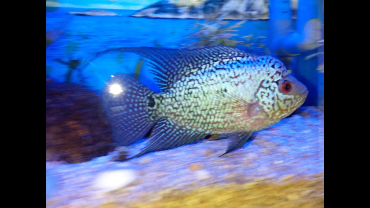 Kamfa Flowerhorn baby only 2 inch - YouTube