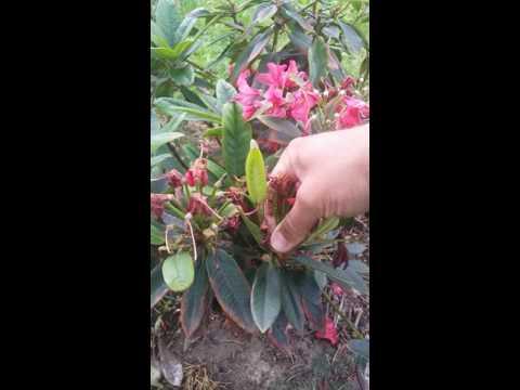 Rhododendron taille fin de floraison