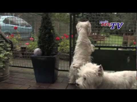 West Highland White Terrier: Informationen zur Rasse