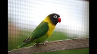 Kicau Lovebird   Kicau Suara Burung Lovebird Juara Gacor Suara Bening Full Ngekek Panjang