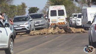 Massive Lion Sightings Roadblocks. A Compilation thumbnail