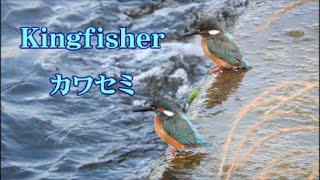 カワセミ  Kingfisher