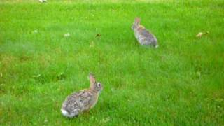 Yard Bunnies - One lays down, stretches out, time to relax