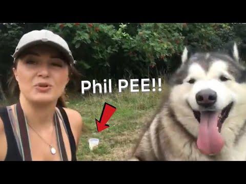 Phil undergoes Diabetes test - Malamute tiny tail diagnosis