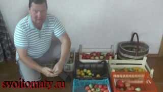 Как дозревают помидоры