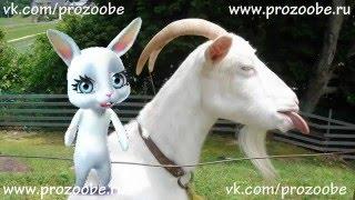 Полюбишь и козла Прикол от Zoobe Зайки Домашней Хозяйки