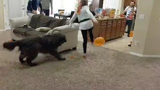 Dog Tries To Pop Balloons In Party Game