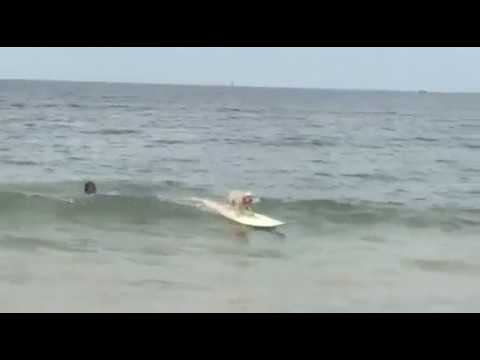 Gnarly Marley the surfing Cavoodle | Surfing dogs