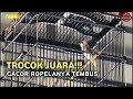 Sajuta Cup  Trocok Juara Super Gacor Ropel Panjang  Mp3 - Mp4 Download