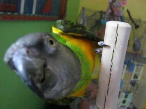 Teecoo(Youyou) parle// Teecoo(Senegal parrot) is talking