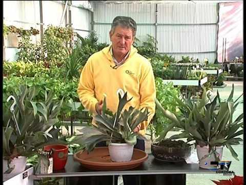 El Jardinero En Casa Platycerium Youtube
