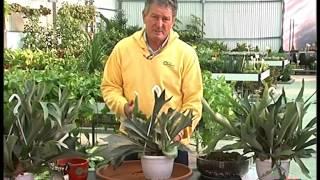 El jardinero en casa - Platycerium