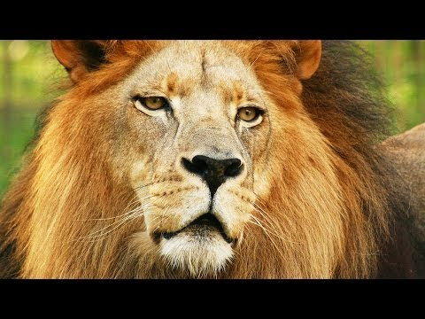 Lion Species Spotlight