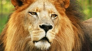 Lions - A Species Under Threat
