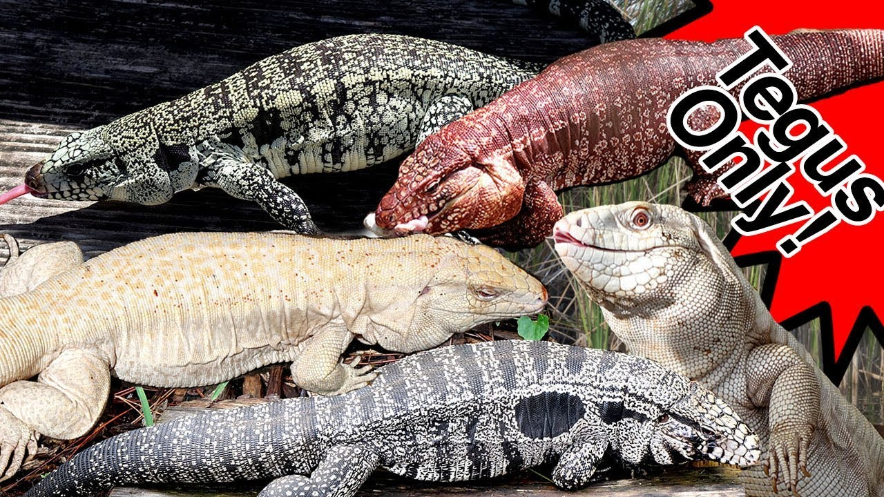 Hundreds of Massive TEGU LIZARDS! Reds, Blues, Black and Whites, Purples and more!