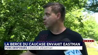 La berce du Caucase donne des maux de tête à Eastman.