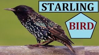 European Starling Call Sparrow Birds Chirping Sounds Sound Noise for Kids Animal Cats Dogs Listen