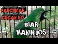 Pancingan Cucak Ijo Biar Makin Jos Dan Tampil Maksimal  Mp3 - Mp4 Download