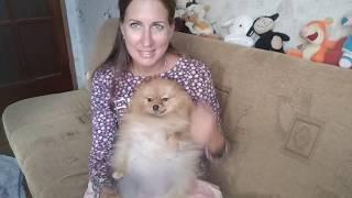 Беременная шпиц Лили Сан