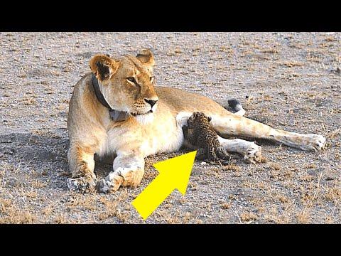das-hat-die-welt-noch-nie-gesehen,-löwin-adoptiert-leoparden...